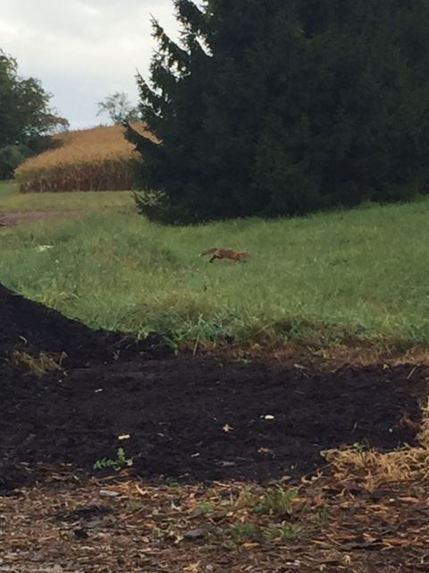 Fox friend at the compost site